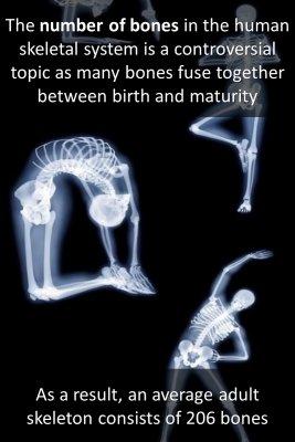 Human skeleton - back