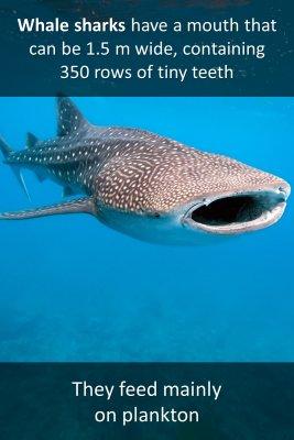 The whale shark - back