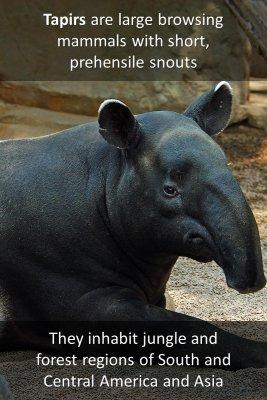 Tapirs - front