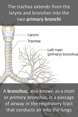 Bronchi micro courses