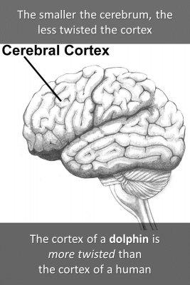 Cerebellum - back
