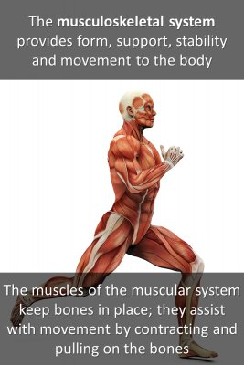The Musculoskeletal System - back