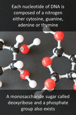 DNA polynucleotides - back