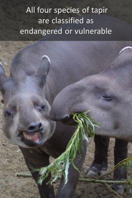 Tapirs - back