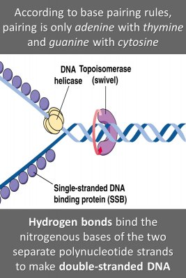 DNA pairing rules - back