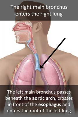 Structure of bronchi - back
