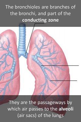 The bronchioles - front