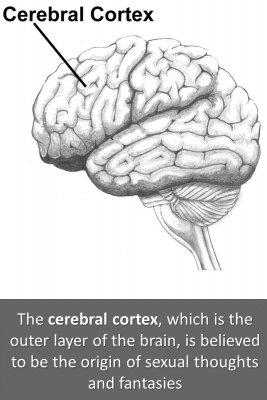 Cortex and hypothalamus - front