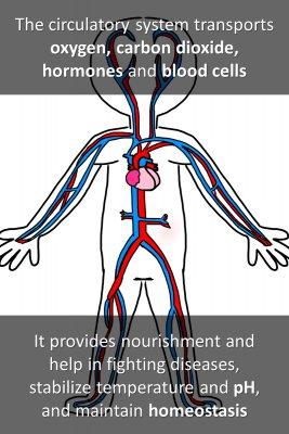 Circulatory system - back