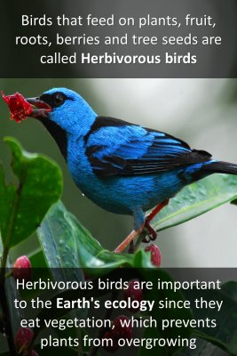 Herbivorous Birds knowledge cards