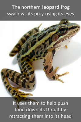 Leopard frog and whale - front