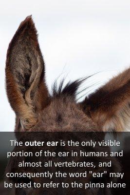 Outer ear - back